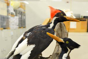 Iv要么y Billed Woodpecker